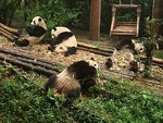 Чэнду – в гости к пандам